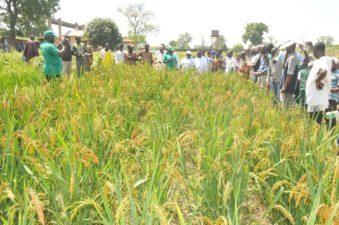 20,000 Katsina farmers for CBN rice scheme