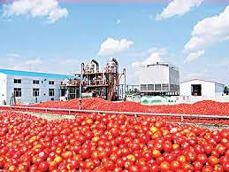 Dangote Tomato Factory To Resume Production 0
