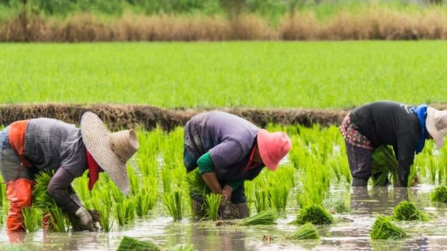 Rice-farmers.jpg